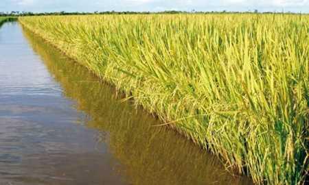No Tocantins, um novo jeito de plantar arroz Diário do Grande ABC - Notícias e informações do Grande ABC: Santo André, São Bernardo, São Caetano, Diadema, Mauá, Ribeirão Pires e Rio Grande da Serra