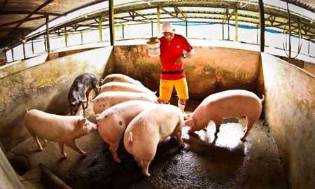 Por que os porcos gostam da lama? Diário do Grande ABC - Notícias e informações do Grande ABC: Santo André, São Bernardo, São Caetano, Diadema, Mauá, Ribeirão Pires e Rio Grande da Serra