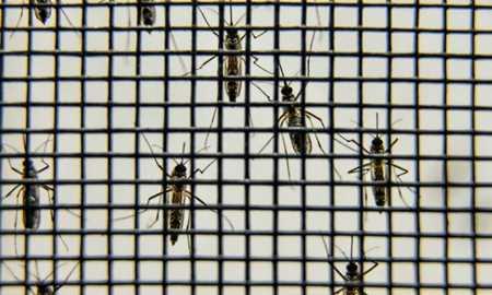 No Rio, bairros da zona norte terão mosquitos com bactéria que combate a dengue Diário do Grande ABC - Notícias e informações do Grande ABC: Santo André, São Bernardo, São Caetano, Diadema, Mauá, Ribeirão Pires e Rio Grande da Serra