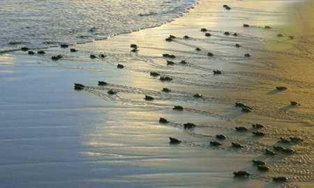 A volta incerta de tartarugas ao mar Diário do Grande ABC - Notícias e informações do Grande ABC: Santo André, São Bernardo, São Caetano, Diadema, Mauá, Ribeirão Pires e Rio Grande da Serra