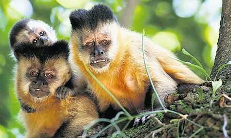 Macacos-prego que moram em parque do Piauí estão vivendo na Idade da Pedra Diário do Grande ABC - Notícias e informações do Grande ABC: Santo André, São Bernardo, São Caetano, Diadema, Mauá, Ribeirão Pires e Rio Grande da Serra